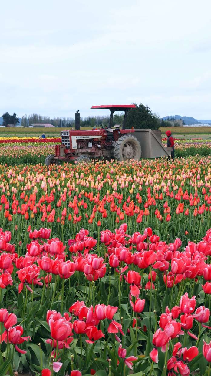 Tractor at Tulip Town Skagit Valley