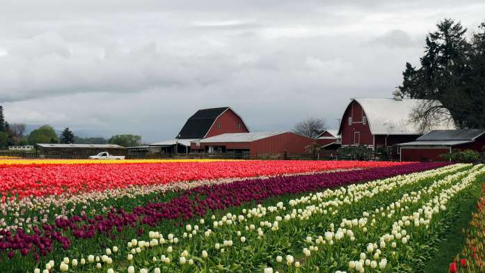 Tulip Town Skagit Valley fields and barns
