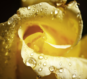 close up of a beautiful yellow rose