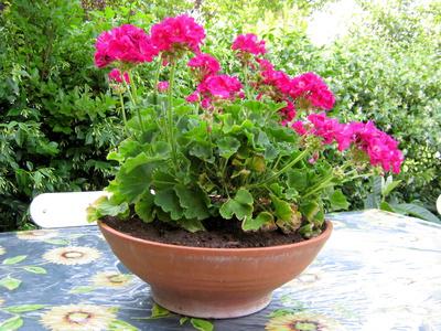 scented geramiums in large pot