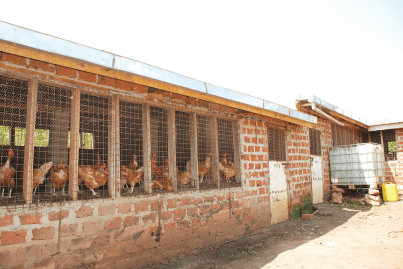 Guide how to start local chicken farming for eggs chicks for Poultry house plans for 100 chickens