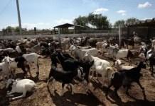 Goat Farming business