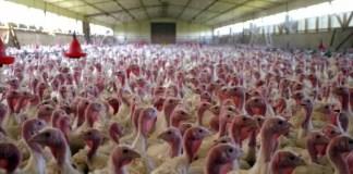 Turkey farm and pen