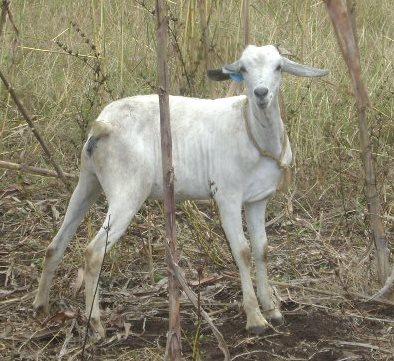 Galla goat
