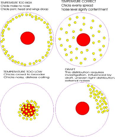 Chick behavior at different temperatures