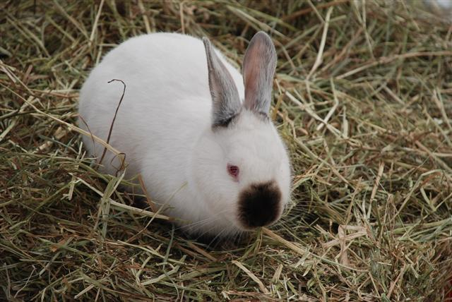 Californian white rabbit