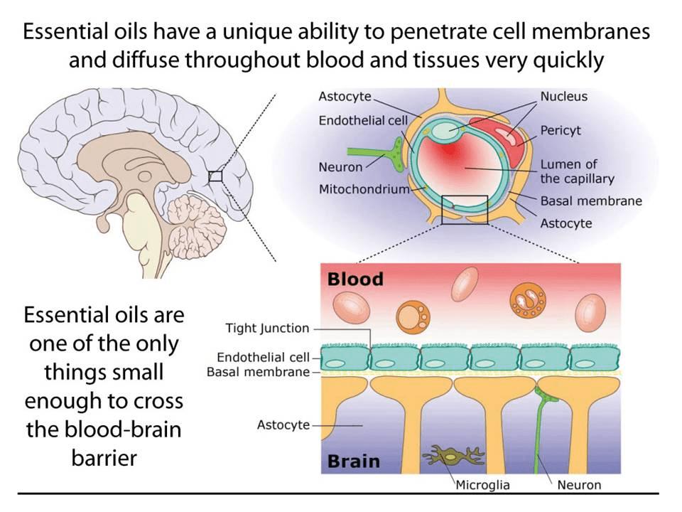 Αποτέλεσμα εικόνας για essential oil membrane of cell