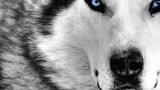 Οι λύκοι μεταμορφώνουν το περιβάλλον (Video)