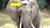 Πυροβόλησαν έναν Ελέφαντα στο Κεφάλι και θα Πέθαινε από τη Μόλυνση. Δείτε ΠΩΣ ζητά βοήθεια από τους Ανθρώπους και θα Δακρύσετε!