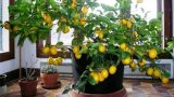Πώς να μεγαλώσετε ΕΥΚΟΛΑ μια λεμονιά από έναν μόνο σπόρο στο σπίτι σας!