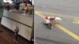 Μικροσκοπικός σκύλος διαλέγει το μεγαλύτερο λούτρινο του μαγαζιού και ξετρελαίνει το διαδίκτυο