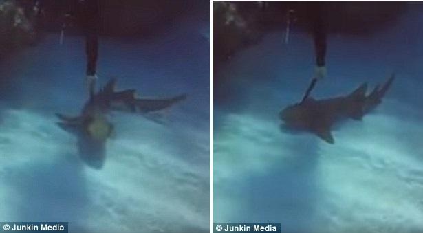 Καρχαρίας με μαχαίρι καρφωμένο στο σώμα του ζητά «βοήθεια» από δύτη