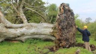 Ξερίζωσαν θυελλώδεις άνεμοι ένα τεράστιο δέντρο 210 ετών και κάτω από το δέντρο όπου βρισκόταν ένας σκελετός 1.000 ετών