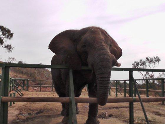 elephant-sanctuary-hartbeespoort-2