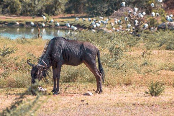 bakubang-bush-lodge-wildebeest