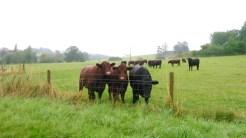 Viking cows!