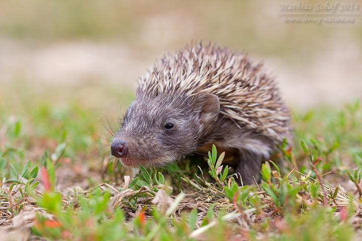 Braunbrustigel, Erinaceus europaeus, European hedgehog