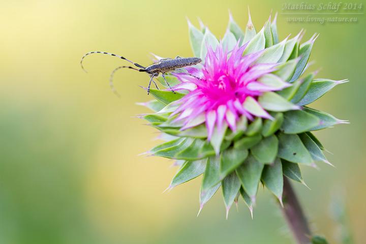 Sonnenblumen-Bock, Agapanthia dahli