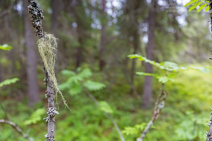Bartflechte, Usnea, lichen, tree's dandruff, odl man's beard, beard lichen