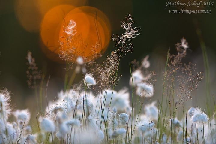 Schmalblättriges Wollgras, Eriophorum angustifolium, common cottongrass