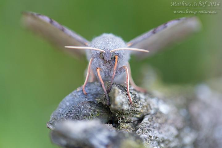 Pappelschwärmer, Laothoe populi, Poplar Hawk-moth