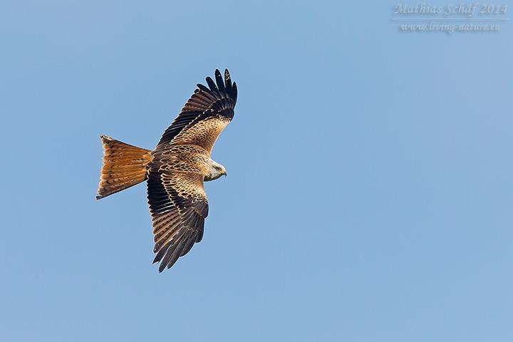 Rotmilan, Red Kite, Milvus milvus