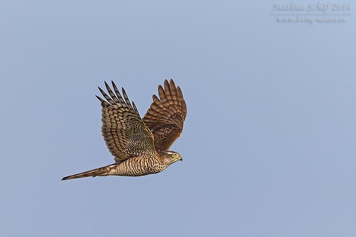 Sperber, European Sparrowhawk, Accipiter nisus