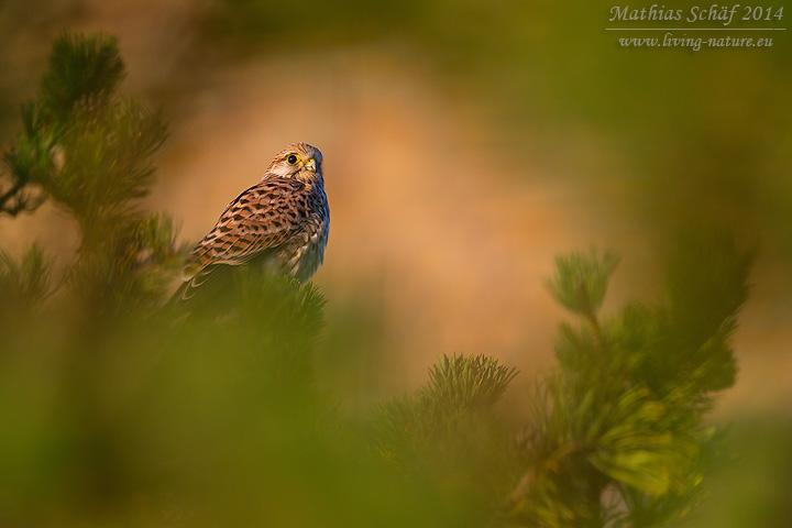 Turmfalke, Kestrel, Falco tinnunculus