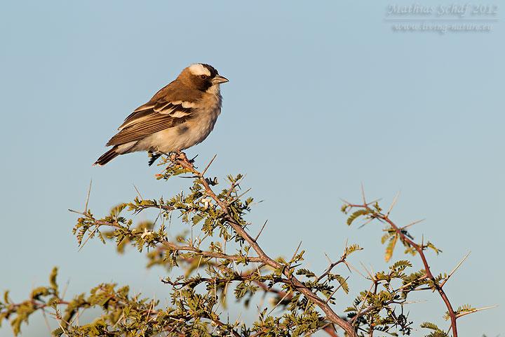 Augenbrauenmahali, White-browed Sparrow Weaver, Plocepasser mahali