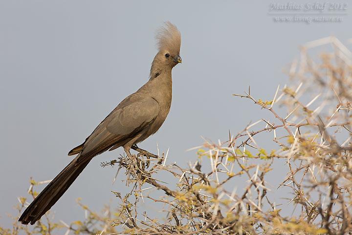 Graulärmvogel, Go-away Bird, Corythaixoides concolor