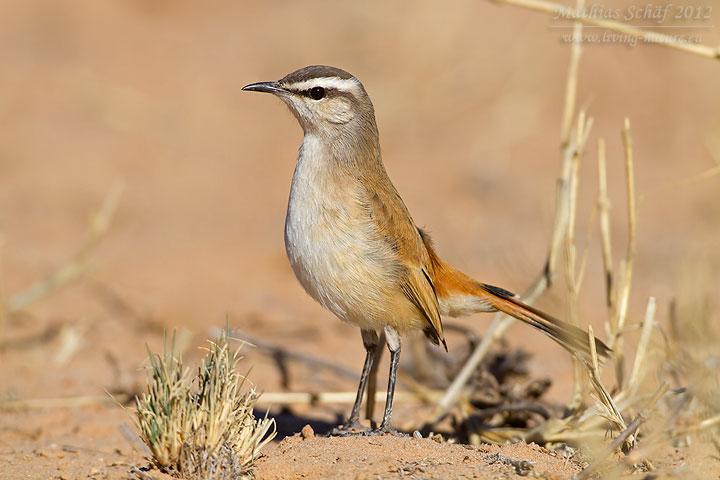 Kalahariheckensänger, Kalahari Scrub Robin, Cercotrichas paena