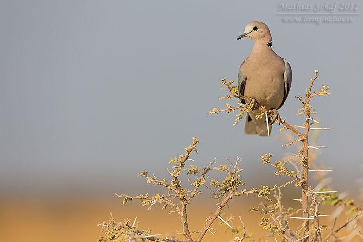 Gurrtaube, Ring-necked Dove, Streptopelia capicola