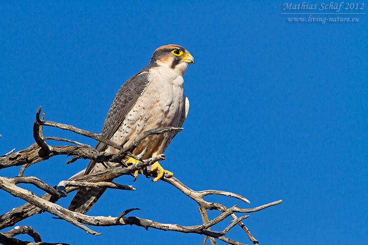 Lannerfalke, Lanner Falcon,  Falco biarmicus