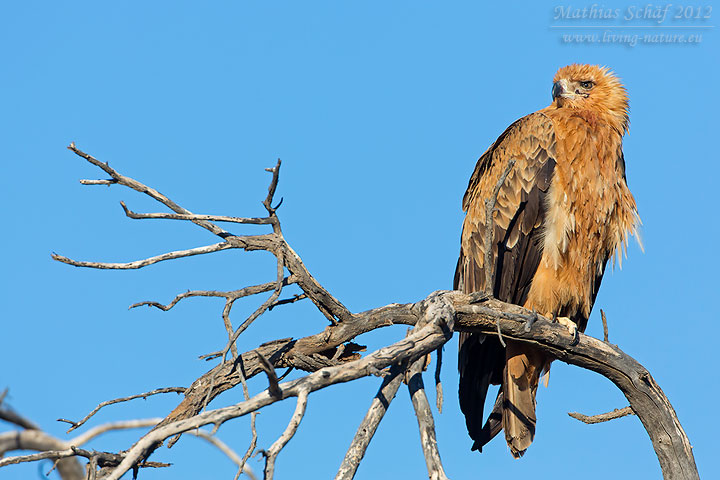 Savannenadler, Tawny Eagle, Aquila rapax