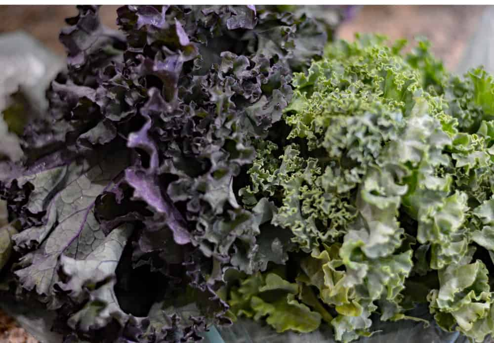 Purple and Curly Kale Bunches