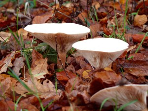 Funnel / Trooping funnel / Monk's head (Cimballo / Imbutino) (Clitocybe gibba, Infundibulicybe geotropa / Clitocybe geotropa)