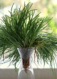 Oppositeleaf Russian Thistle / Barilla plant / Opposite-leaved saltwort (Agretti / Barba di Frate / Barba di Becco) (Salsola soda)