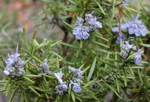Rosemary (Rosemarino / Ramerino) (Rosmarinus officinalis – prostrates, aureus, roseus)