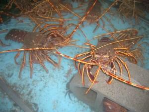 Spiny lobster by José Antonio Gil Martínez