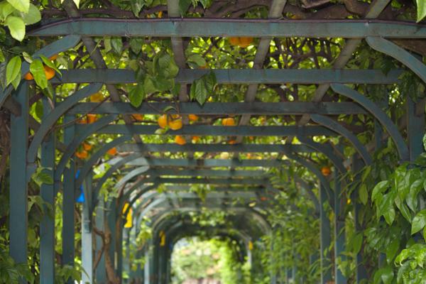 Oranges in a canopy over the walkway in Villa Carlotta