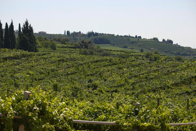 The vineyard in Marano