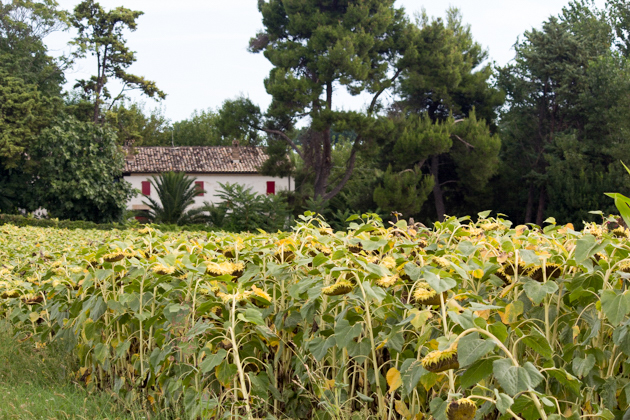 Fields of sunflowers in Le Marche