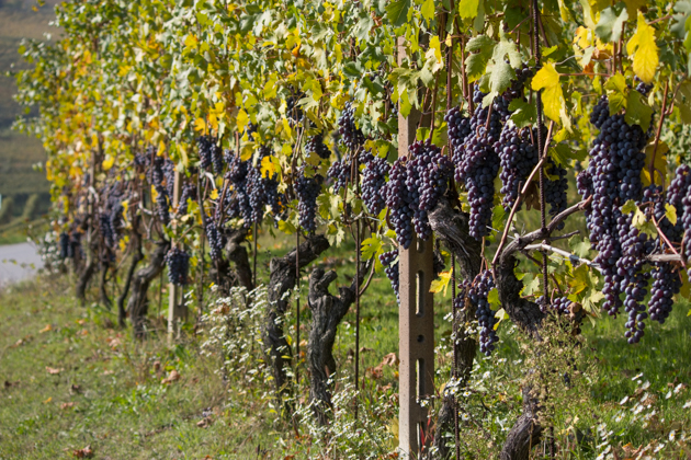Grapes hang heavy on the vines