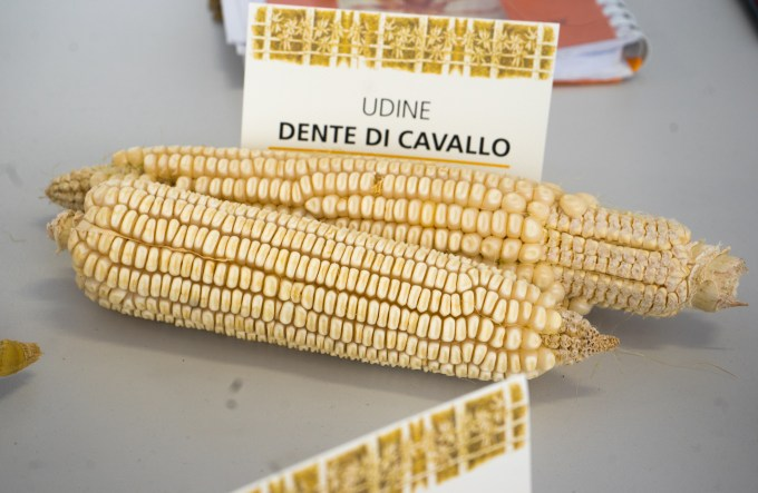 "Dente di cavallo: A Friulian white corn variety called ""horse's teeth"""