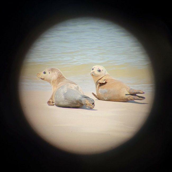 Zeehonden in het wild, aan de Belgische kust