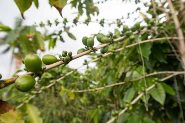 Image Result For Greenwell Coffee Farm Kona Hawaii