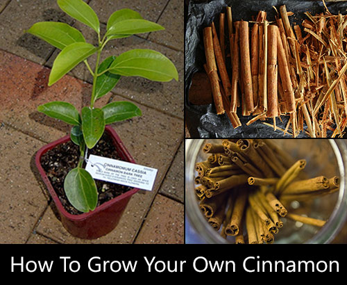 What Do Grow Cinnamon
