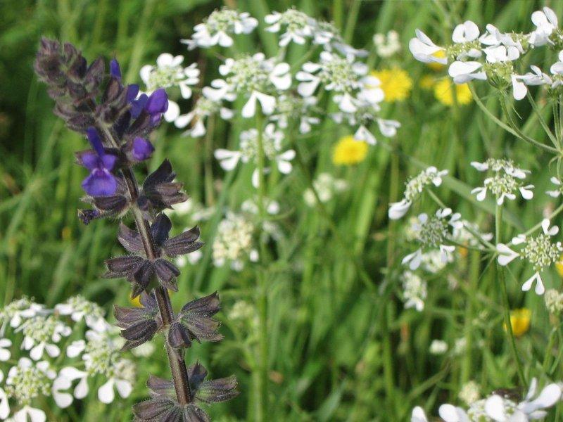 Ecologica wild flower meadows