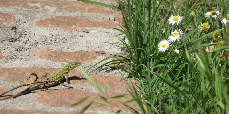 Italian lizard by ho visto nina volare | (CC BY 2.0)