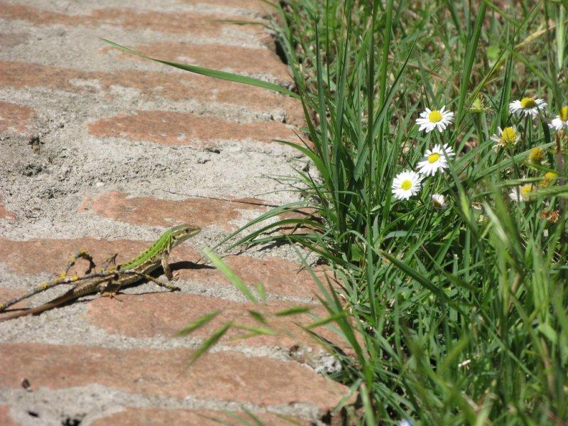 Italian lizard by  ho visto nina volare | (CC BY 2.0)